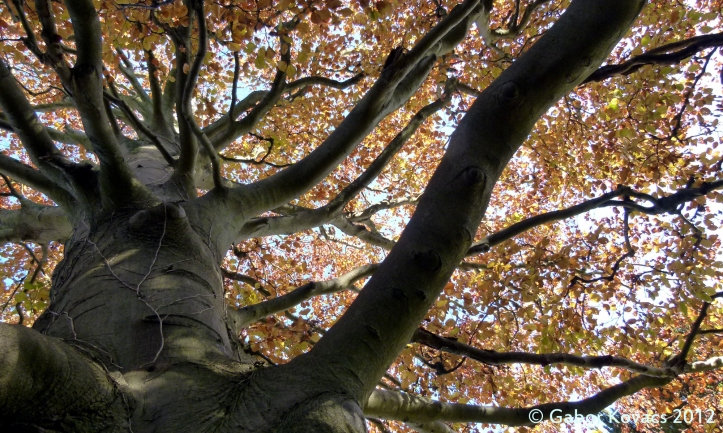 autumn beech © Gabor Kovacs 2012