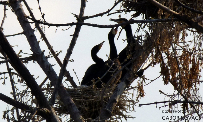 cormorants © Gabor Kovacs 2013