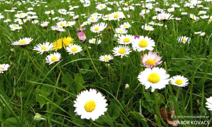 daisy, daisy © 2013 GABOR KOVACS