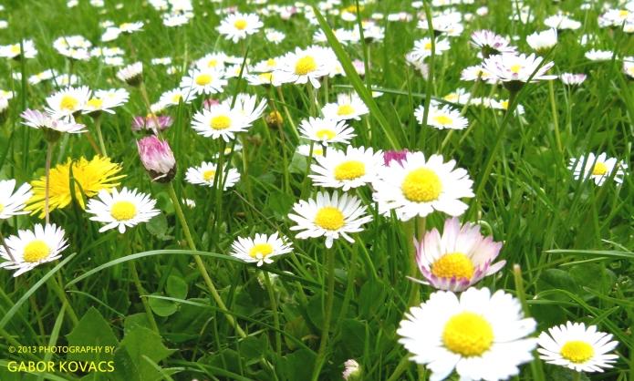 daisy, daisy (2) © 2013 GABOR KOVACS