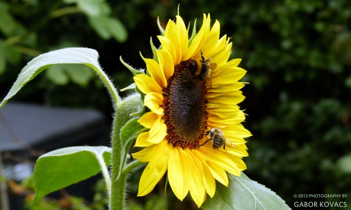 sunflower and bees © 2013 GABOR KOVACS
